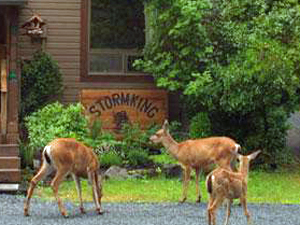Local deer visiting Stormking Spa Retreat and Cabins Mt Rainier. Mount Rainier Cabins at StormkingSpa
